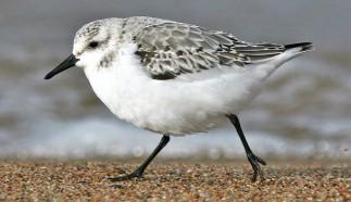 cropped-b-sanderling-2847.jpg